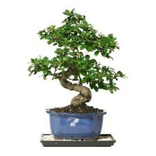 Bonsai Fukien Tea Bonsai Indoor Garden Flower Tree Plant Decorative *NEW*