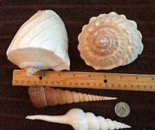 Lot of (4) sea shells