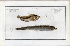 Fische-Angeln-Kupferstich Bloch 1782 Butterfisch-Meerlerche Fisch