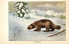 "1926 Vintage ANIMALS ""WOLVERINE"" GORGEOUS COLOR Art Print Lithograph"