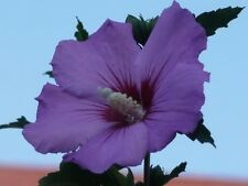 50 PURPLE ROSE OF SHARON HIBISCUS Syriacus Flower Tree Bush Seeds *Comb S/H