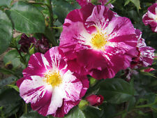 OH WOW! - 5.5lt Potted Garden Climbing Rose - Purple & White Stripes, Fragrant
