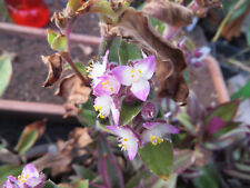Tradescantia blossfeldiana one rootless cutting, rare house plant