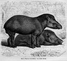 Tapir anta Tapirus terrestris Holzstich von 1891 TAPIRE TAPIR