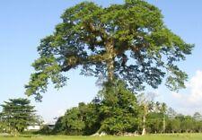 Kapok (Silk White Ctton Tree) CEIBA PENTANDRA, 15 Seeds, bonsai tree