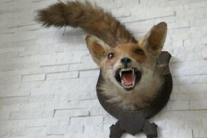 OLD LOVELY *EUROPEAN FOX Head with TAIL*, TAXIDERMY COLLECTORS, about 1970