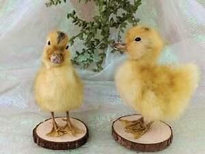 U11d One Taxidermy LONG ISLAND Dmstc Nat Death Yellow Baby Duck Duckling oddity
