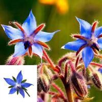 200 stücke Garten Seltene Fünf-Sterne-Blumensamen Pflanze Blumensamen Garte B9R5