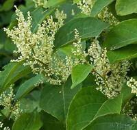 Japanese Knotweed (Polygonum cuspidatum) Dried Root - Contains Resveratrol +