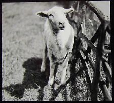 Glass Magic Lantern Slide LAMB IN A FIELD TITLED WHERE IS MARY  C1910 PHOTO