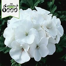 GERANIUM - Maverick White (10 Seeds) HEAVY FLOWERING Modern Hybrid Variety
