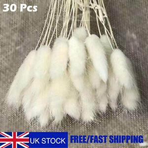 30X Rabbit Tail Grass Bunny Tails Dried Flowers Lagurus Ovatus Plant Stems White