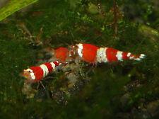 6 Crystal Red Shrimp Live Freshwater Aquarium Fish