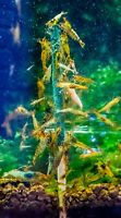 Shrimp lollies Spirulina Sticks - Food for Red Cherry Crystal Tiger shrimp