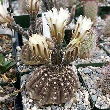 Gymnocalycium RagonesiiCactus Cacti Succulent Real Live Plant