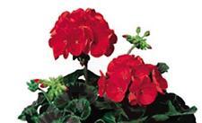 Geranium Zonal  Ringo 2000 Series Deep Scarlet Seeds