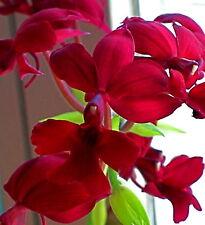 Calanthe species 'Ruby Stars' blühstarke planta orquídea orquídeas
