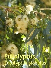 ***naturr. Eukalyptusöl,  30ml (Australien/China)