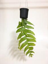 Selenicereus Chrysocardium live plants succulent over 30 cm length