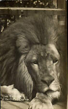 Clifton Zoo. Lion Romulus by Viner # 1278.