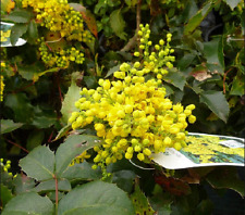 Pack Of 5 Mahonia Oregon Grape Plant Aquifolium Bare Root Screening Hedge Garden