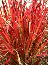 6 graines de BARON ROUGE(Imperata Cylindrica RED BARON)H160 SEEDS SAMEN SEMILLAS