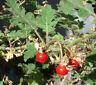 Litchitomate - Solanum sissymbriifolium - Tomato 10+ Samen - Saatgut - Seeds