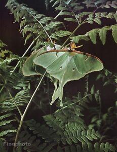 1958 Vintage ELIOT PORTER Forest Fern Luna Moth Butterfly Nature Photo Art 16x20