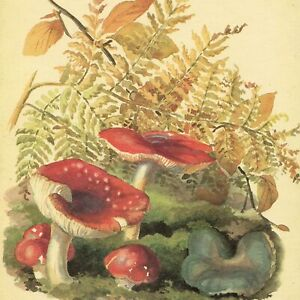 Edith Holden RED SPOTTED TOADSTOOLS vintage repro 1906 botanical print