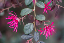 Loropetalum Chinense Ming Dynasty  In 2L Pot, Clusters of Pink Flowers