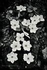 1950s Vintage ANSEL ADAMS Yosemite Dogwood Flower Nature Photo Gravure Art 8X10