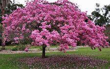 10 Dwarf Tabebuia Heterophylla Pink Trumpet Exotic White Cedar PLANT STORE CLOSE