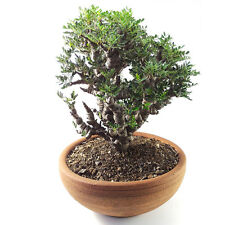 "SENNA MERIDIONALIS ""small"" FOR SALE EXOTIC PLANTS CAUDEX FORM COLLECTIBLE TREE"