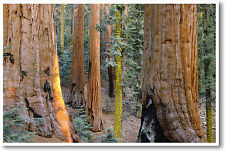 Redwood Giant Sequoia Trees - Forest National Park Wildlife Nature - NEW POSTER