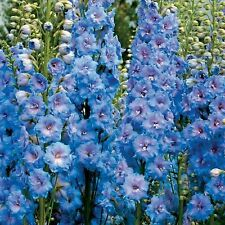 "Blue Delphinium ""AJACIS"" 100 Seeds"