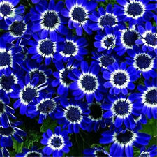 50pcs Rare Blue Daisy Flower Seeds Home Garden Easy to Grow Bonsai Plant Decor