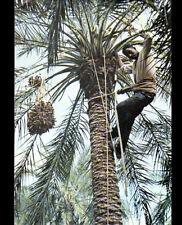 LE M'ZAB (ALGERIE) CUEILLETTE des DATTES en 1984