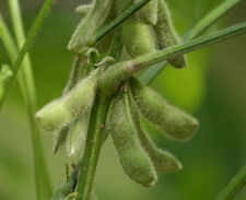 EDAMAME Bellesoy Grow in the Southern heat 15 seeds