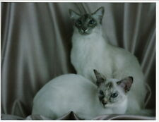 Balinese Blue Tabby Point and Seal Tortie Cats Postcard