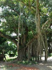 500+ Fresh Banyan or Bargad Tree Seeds