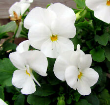 White Pansy Seeds, White Viola Seeds, White Pansies, Non-Gmo Heirloom Seed, 50ct