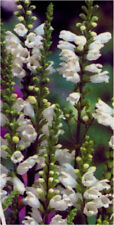 6 PHYSOSTEGIA VIRGINIANA 'CROWN OF SNOW' MEDIUM PLUG PLANTS - HP