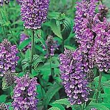 Nepeta Catmint Clarkei Perennial Seeds