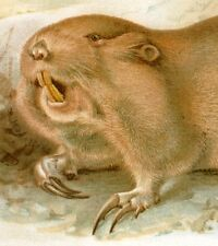 U.S.D.A. Thompson Chomolith -1892- Red Pocket Gopher