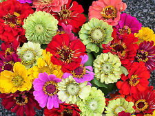 250 Mixed Colors ZINNIA ELEGANS Flower Seeds + Gift & Combined Shipping!