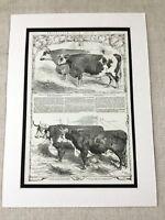 1853 Smithfield Show Rinder Show Preis Bull Kuh Landwirtschaft Antik Aufdruck