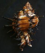 Muricidae- Hexaplex cichoreum  105.5mm F++/F+++, black color,,Philippines