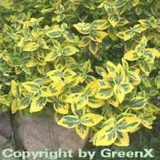 SUGHERO ala arbusto compactus 20-30cm EUONYMUS alatus