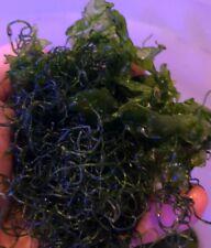 Chaeto Chaetomorpha Macro Algae 1/4 cup Refugium Live