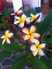 5 Yellow White Purple Plumeria Seeds Plants Flower Seed Perennial 192 US SELLER